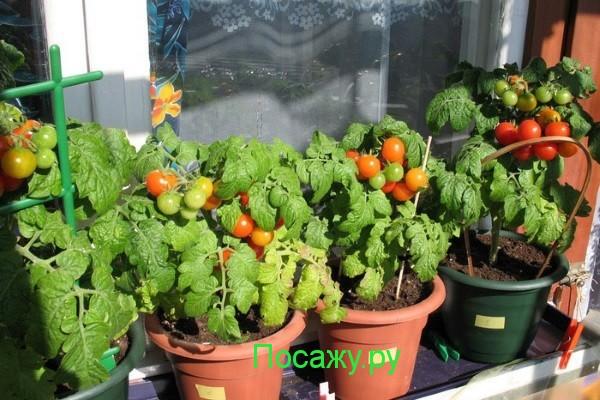 Помидоры на балконе: выращивание пошагово.