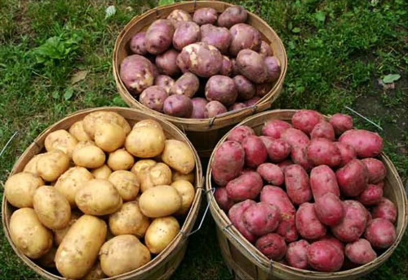 На какую глубину сажать картофель в приморье 48