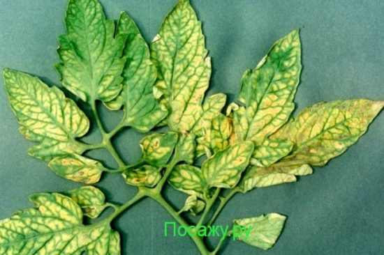 Chlorosis-Magnesium-Deficiency-Tomato