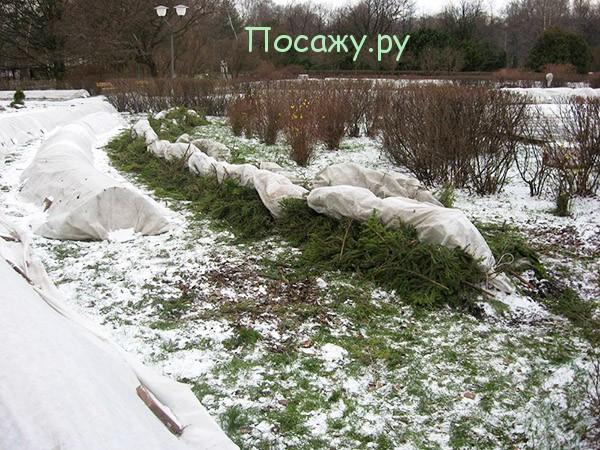 Укрытие роз на зиму в Сибири