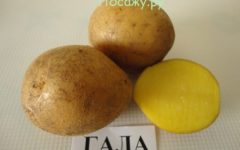 Картофель гала фото