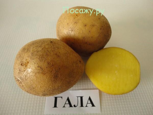 картофель сорт гала описание сорта фото отзывы