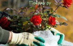 Укрыть розу на зиму