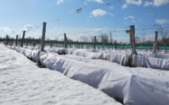 виноградник в снегу