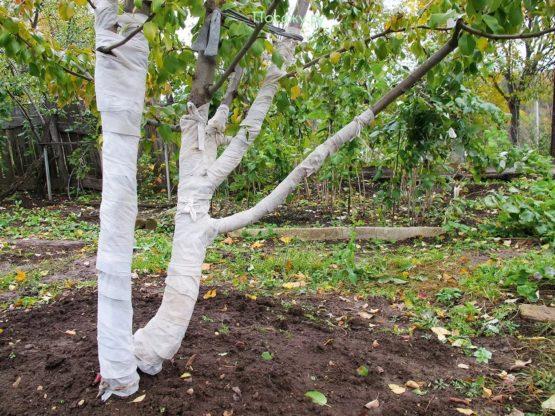 обмотка дерева на зиму