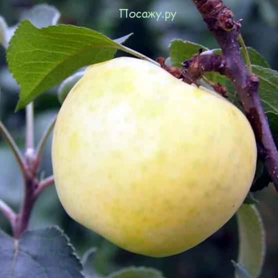 яблоко сорта Диалог