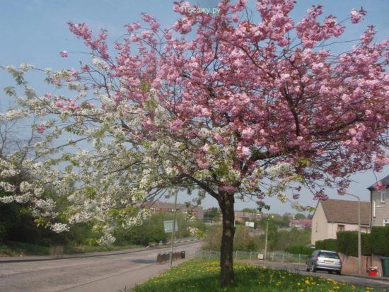 Цветущее с прививкой дерево