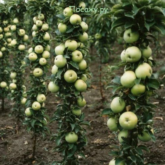 яблони Икша