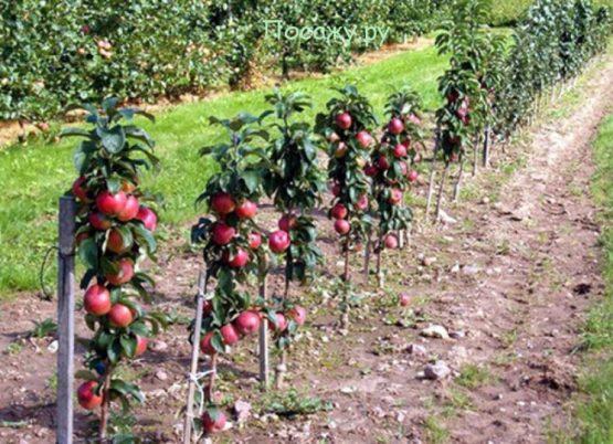 ряд колоновидных яблонь