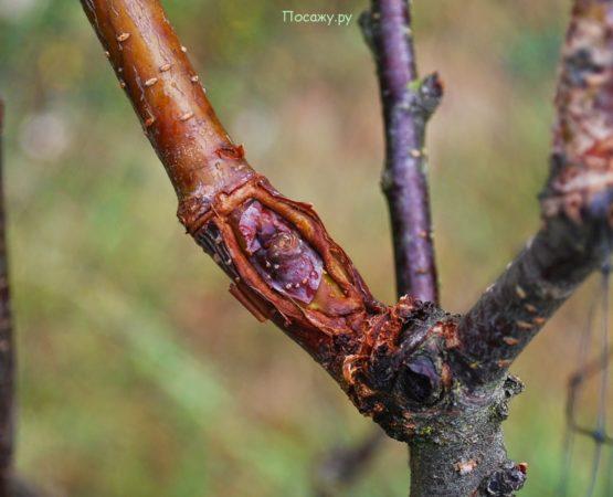 прививка на дереве