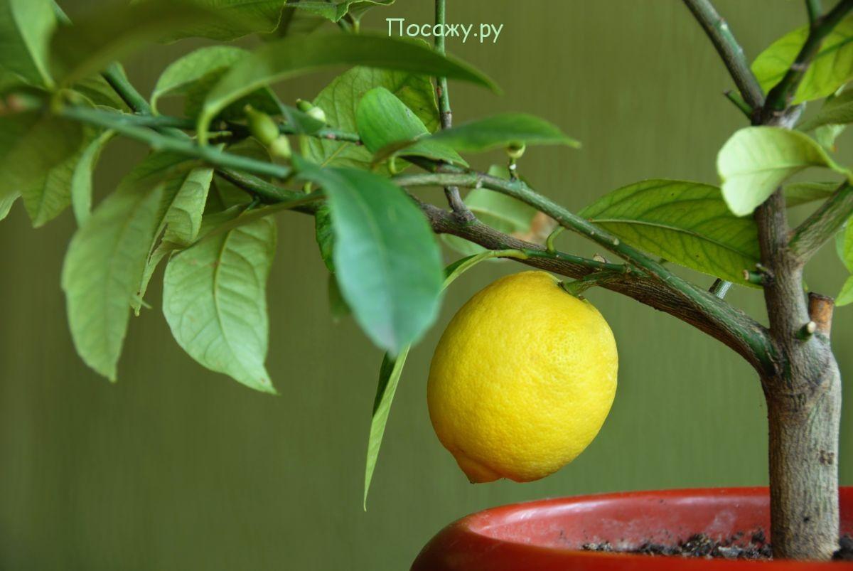 прививаем лимон