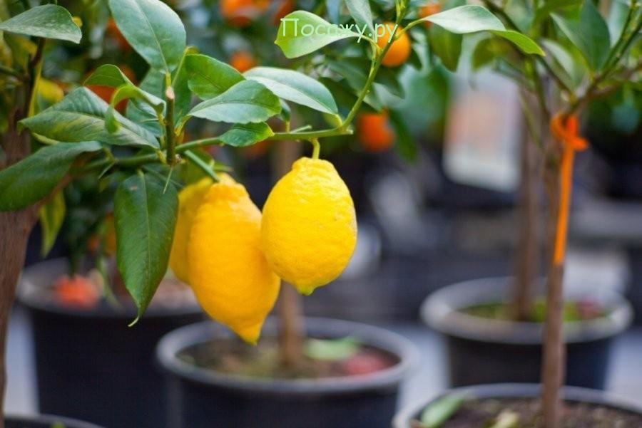 плоды на дереве лимона