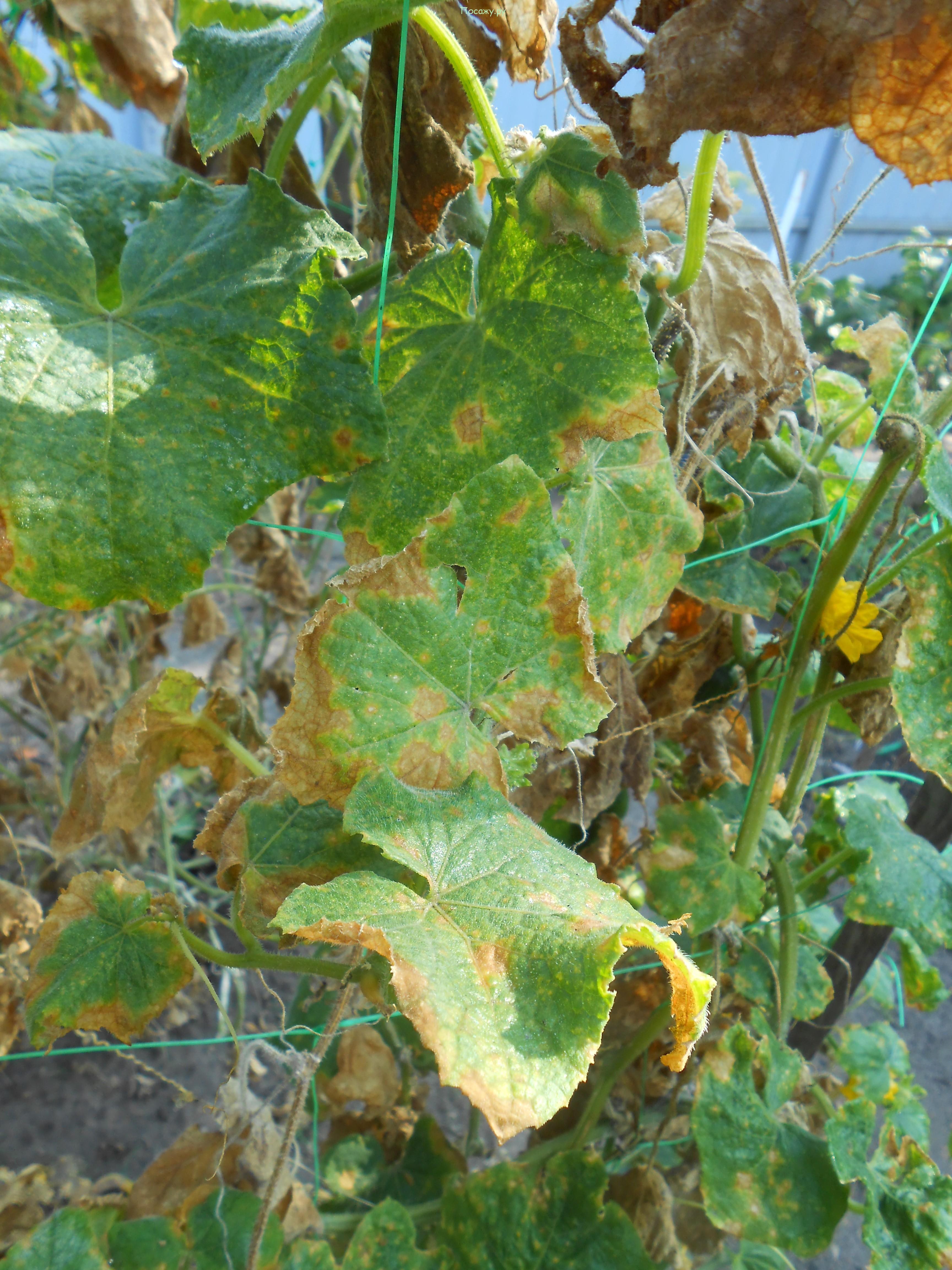 листья, поеденные тлей