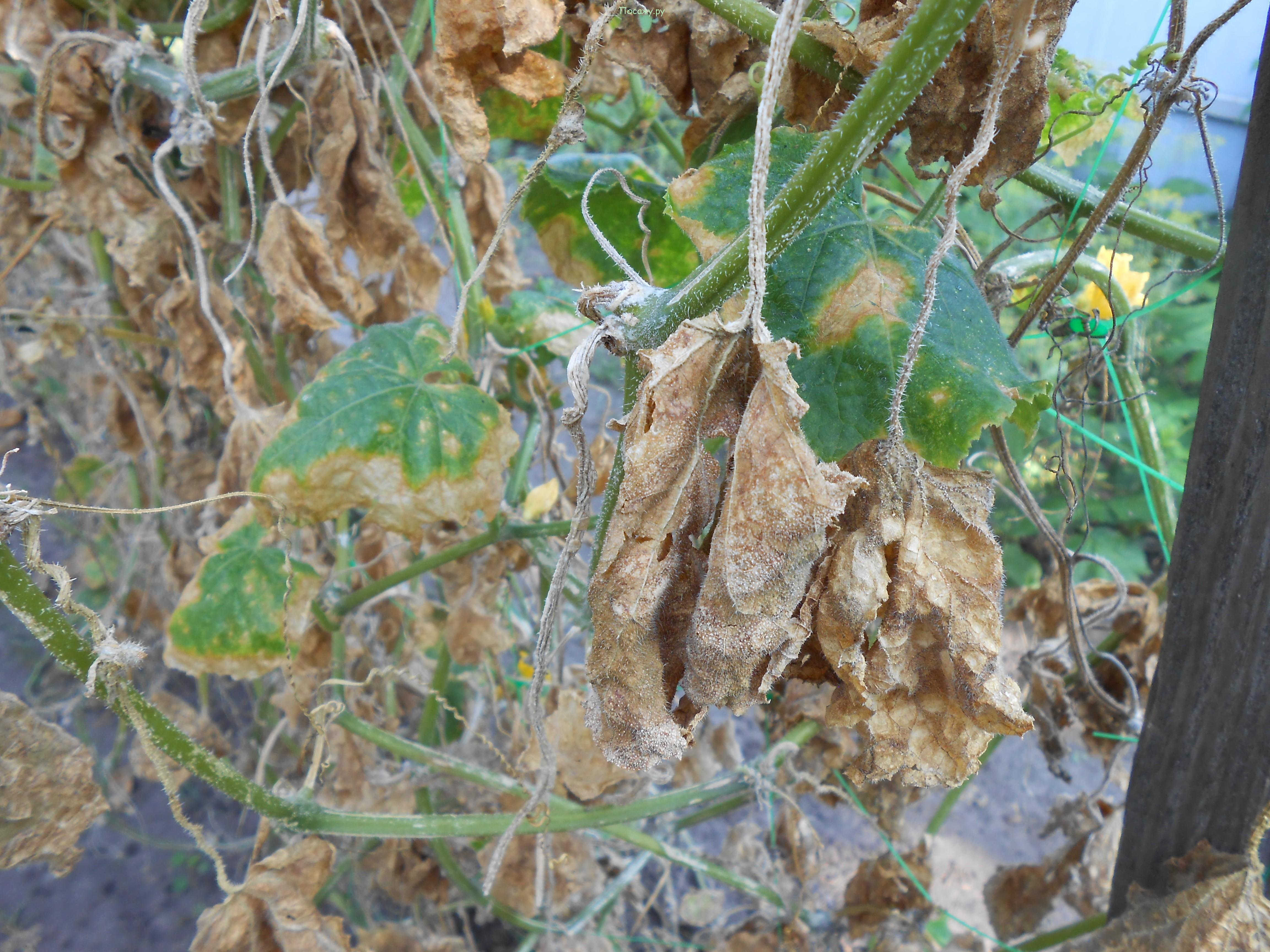 растения, пораженные тлей