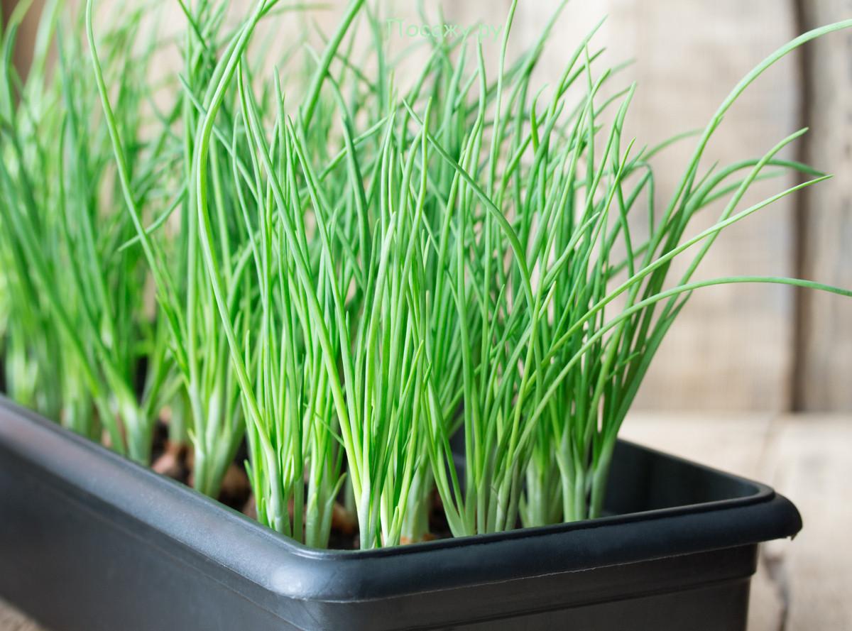 Зеленый лук для салата