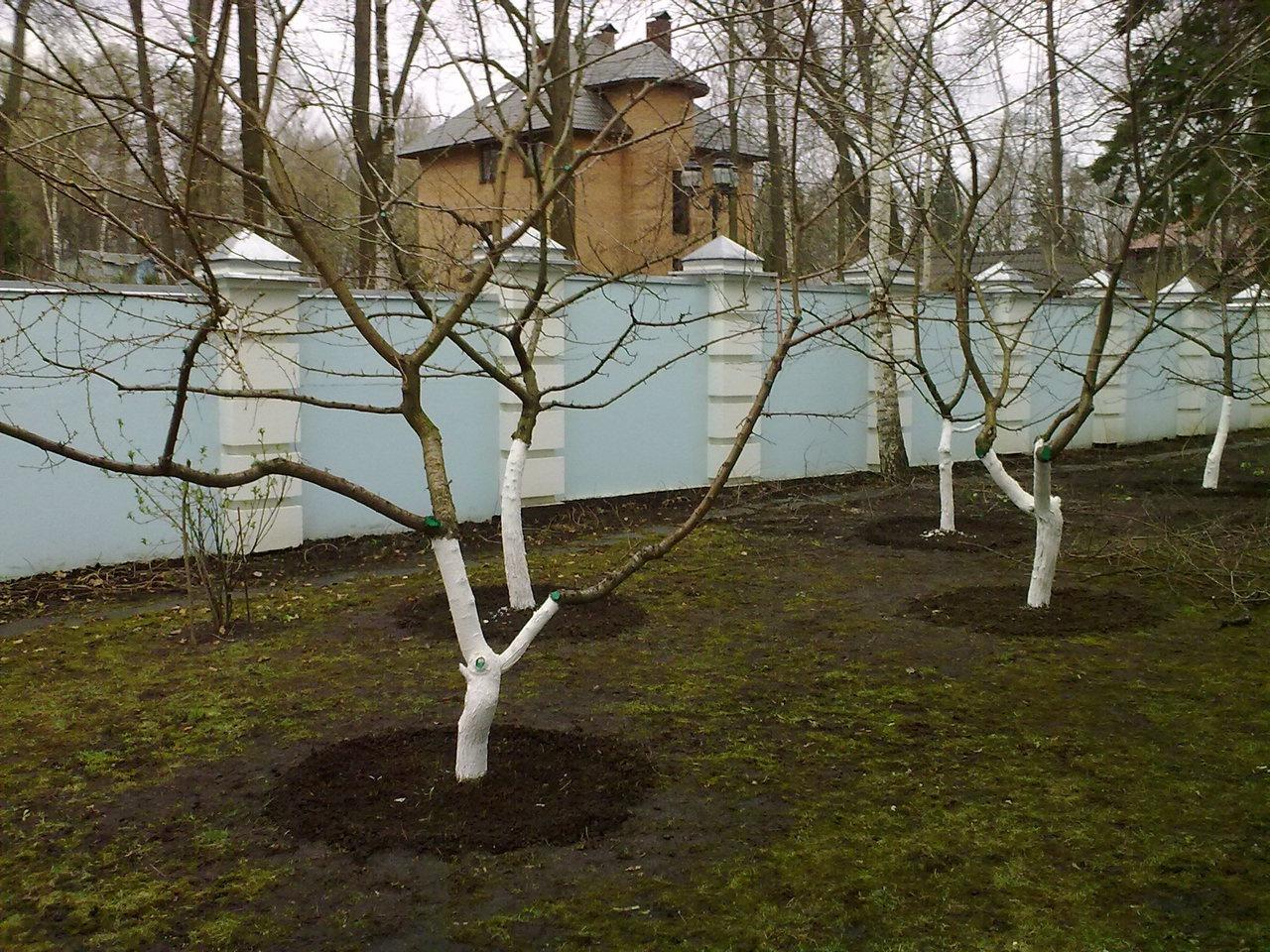 черешни дерево весной
