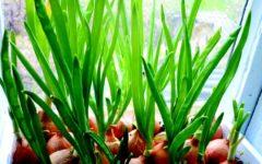 Зеленый лук на подоконнике