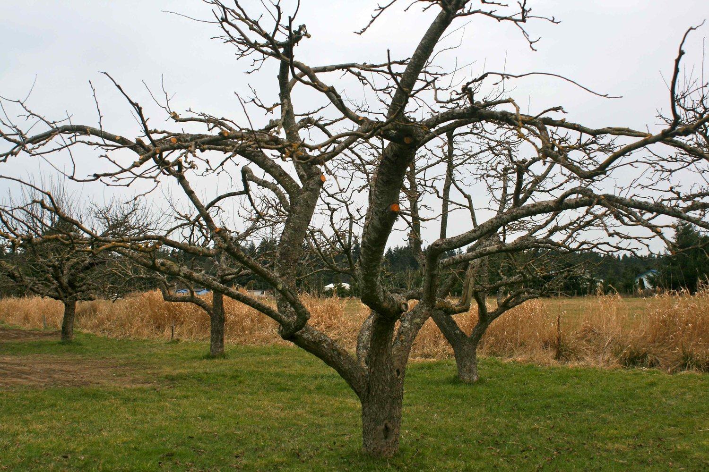 дерево яблони