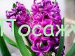 фиолетовый цветок гиацинт