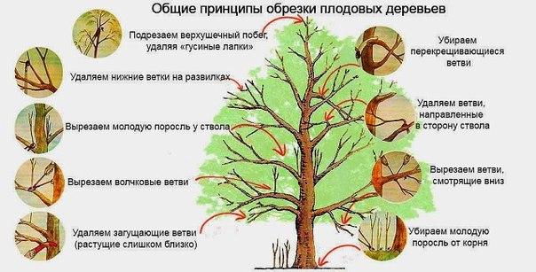 обрезка деревьев схема