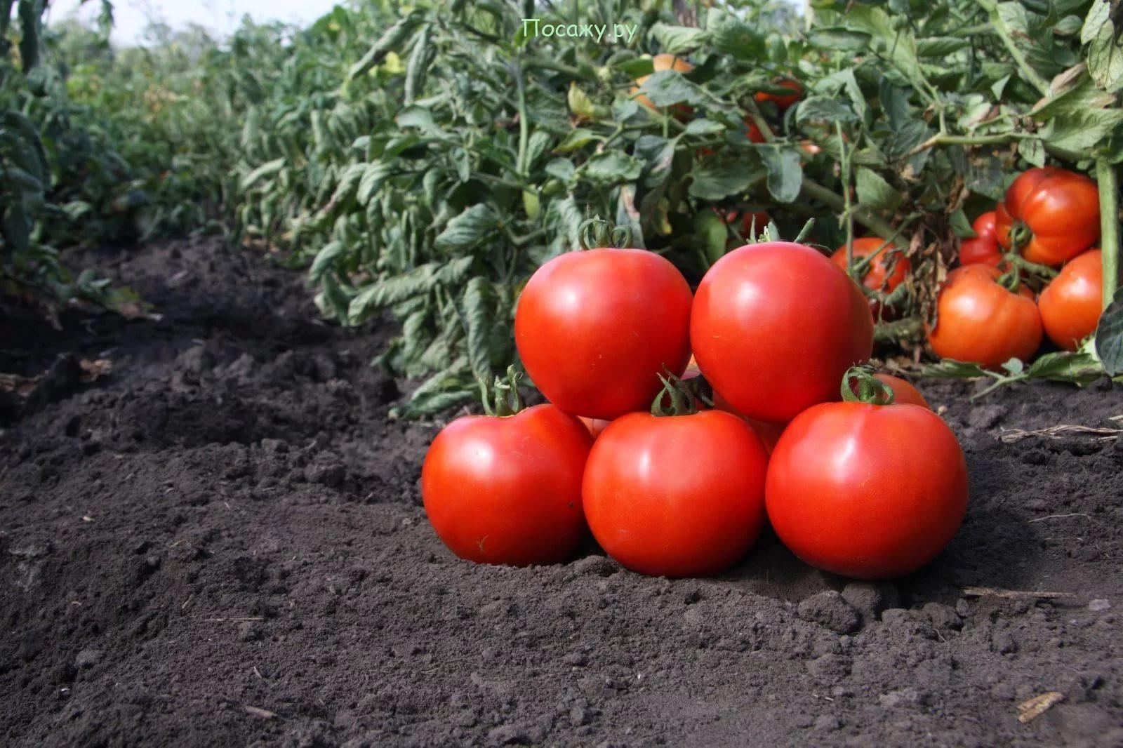 собранные помидоры с грядки