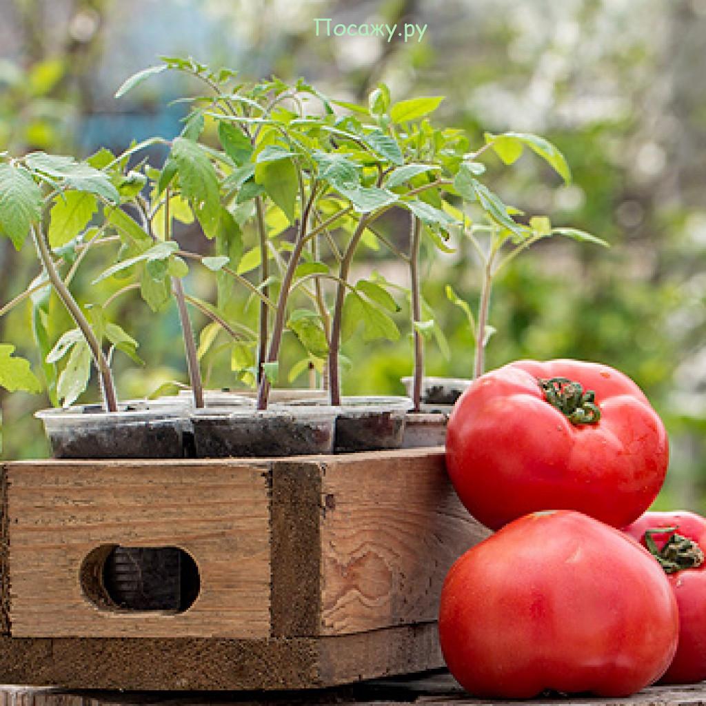 рассада и помидоры