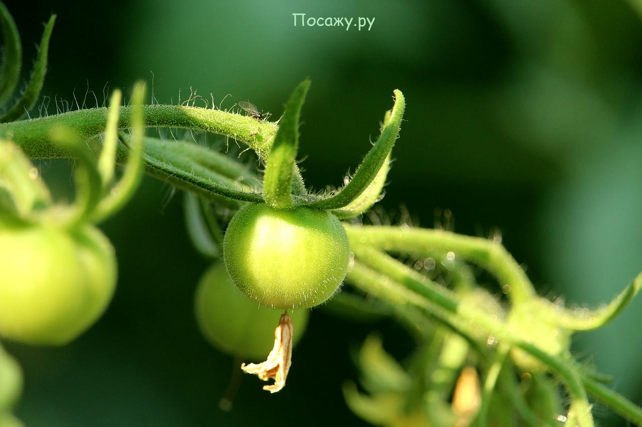 помидор на грядке