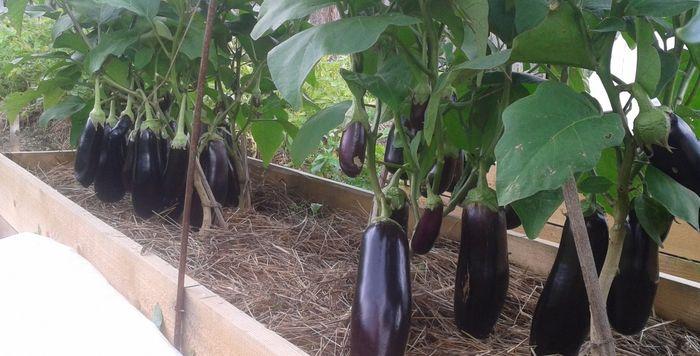 урожай баклажан