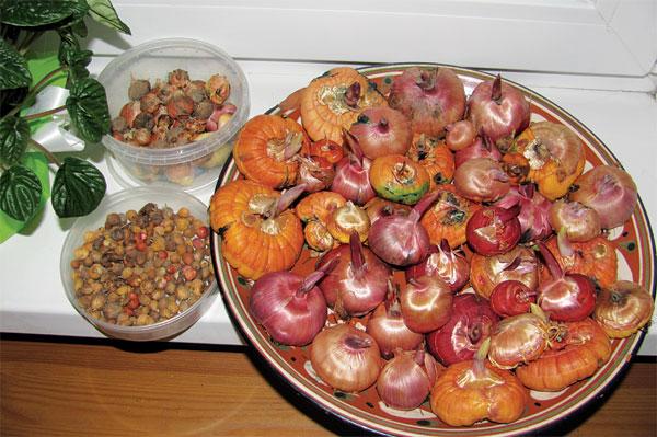 гладиолус луковицы