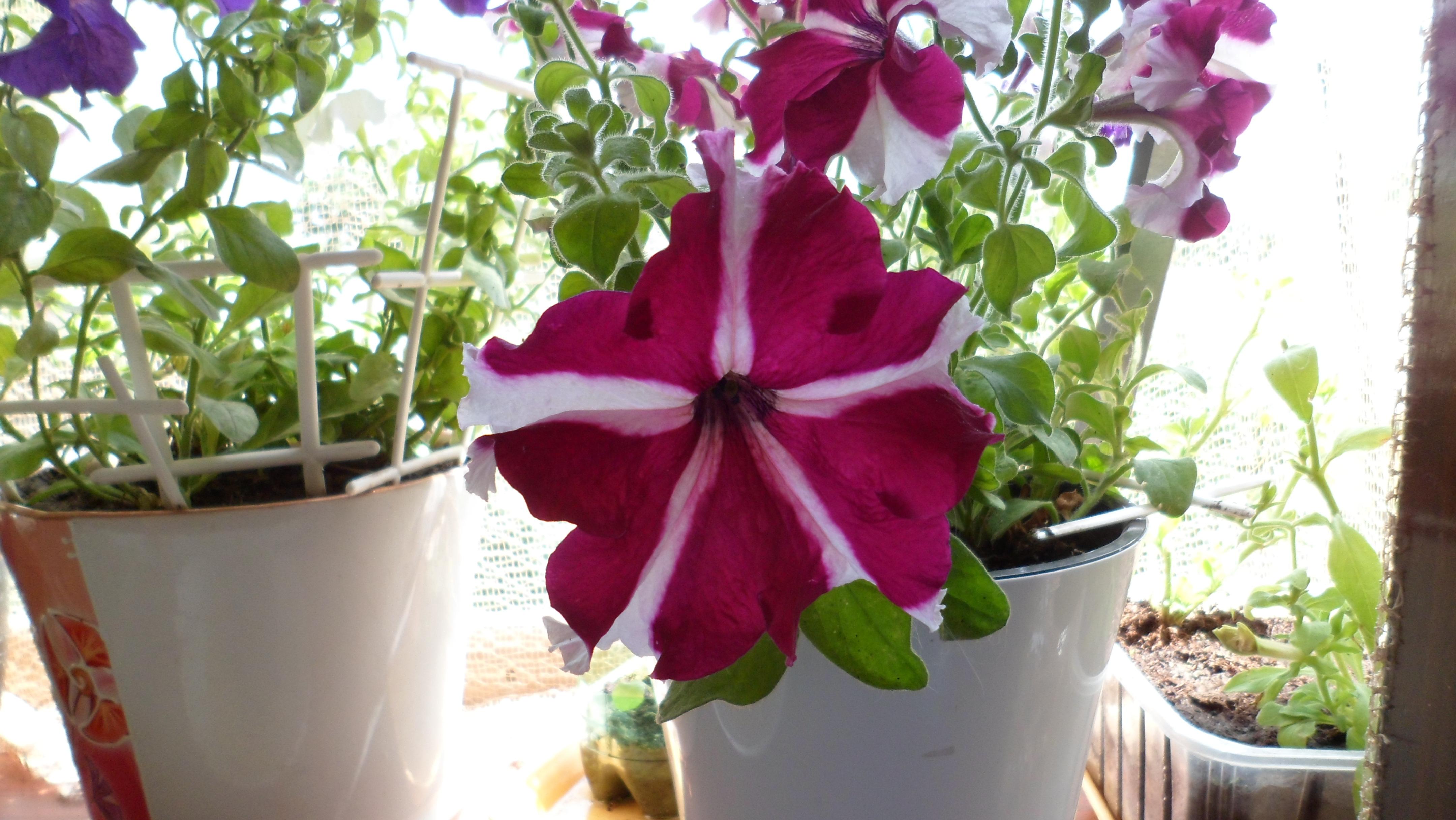 петуния цветущая