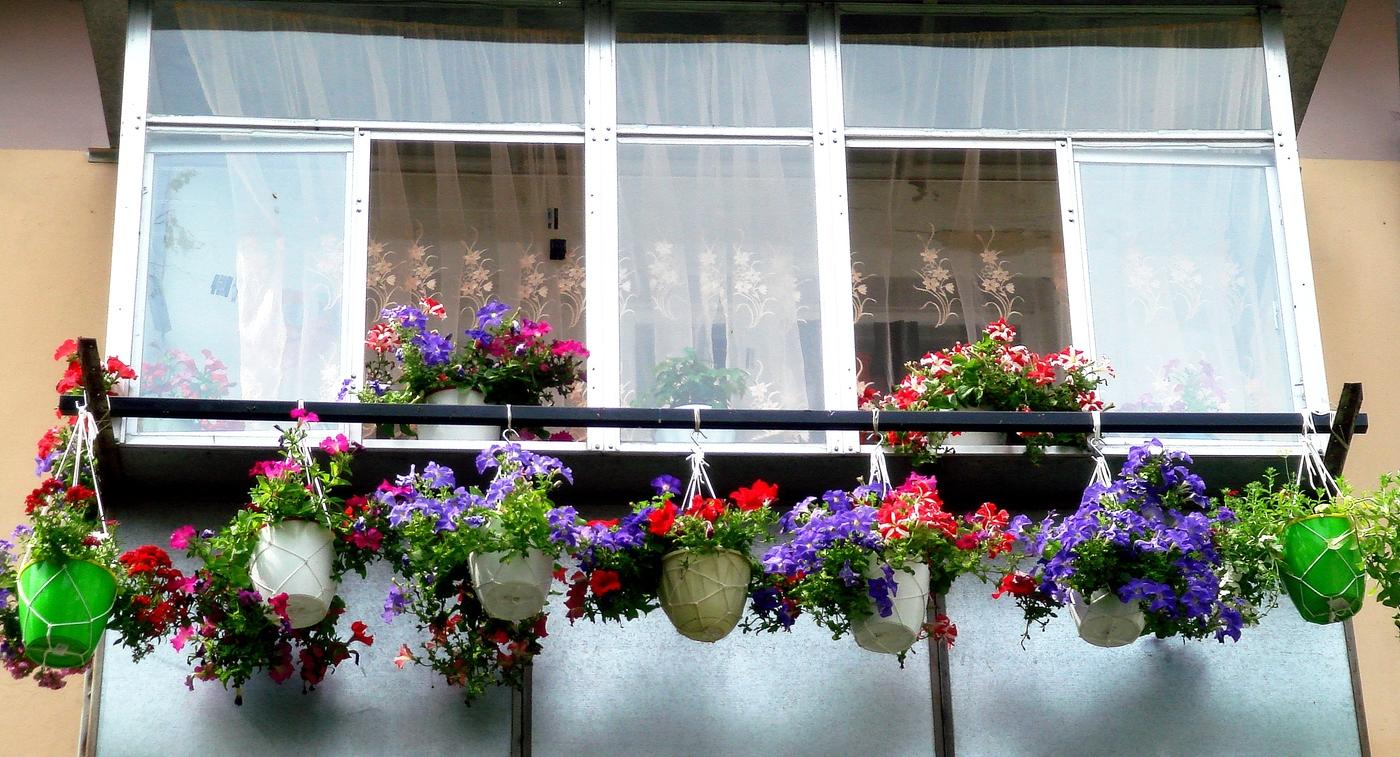 петуния на балконе