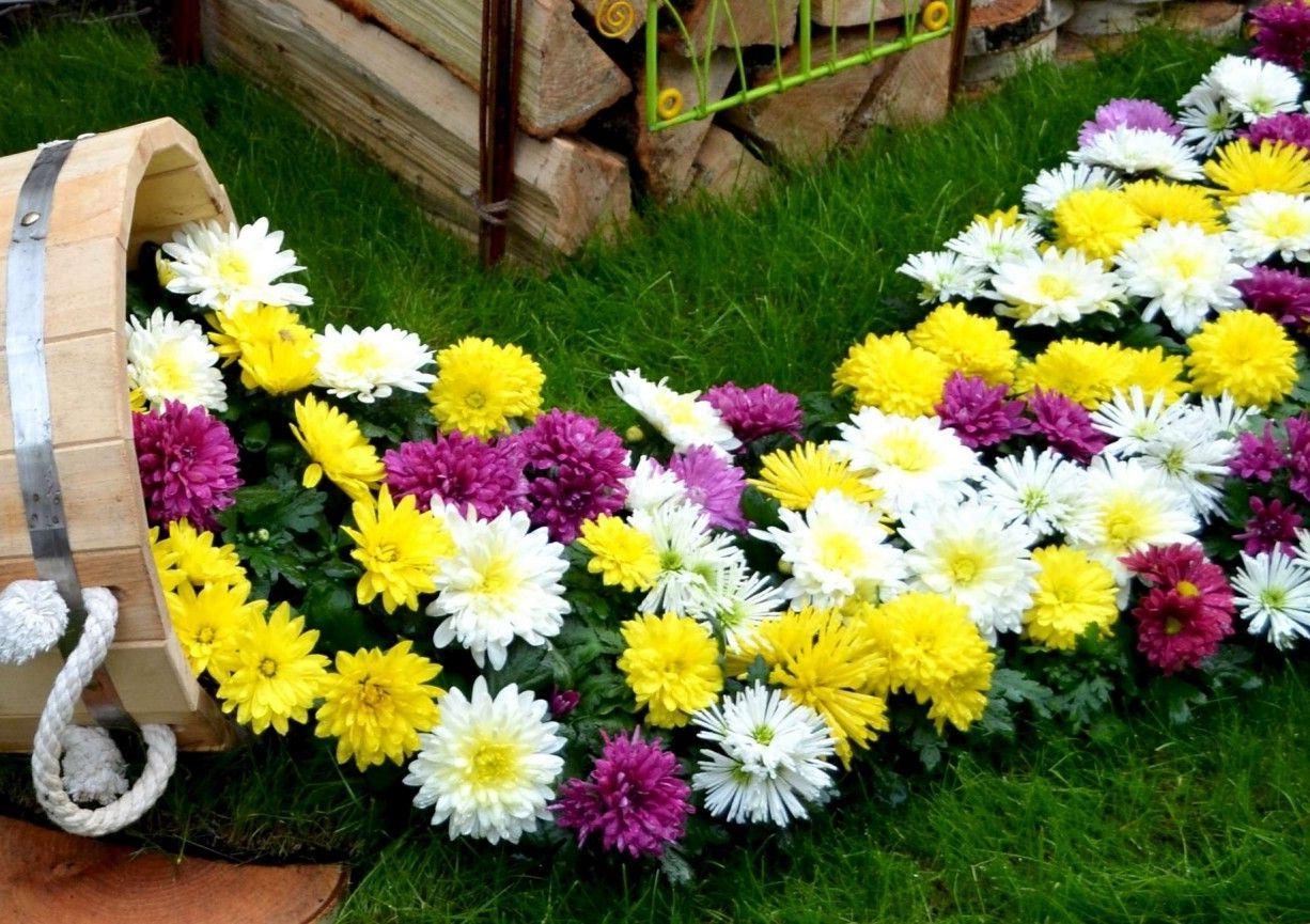 хризантемы на участке