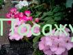 герань цветы