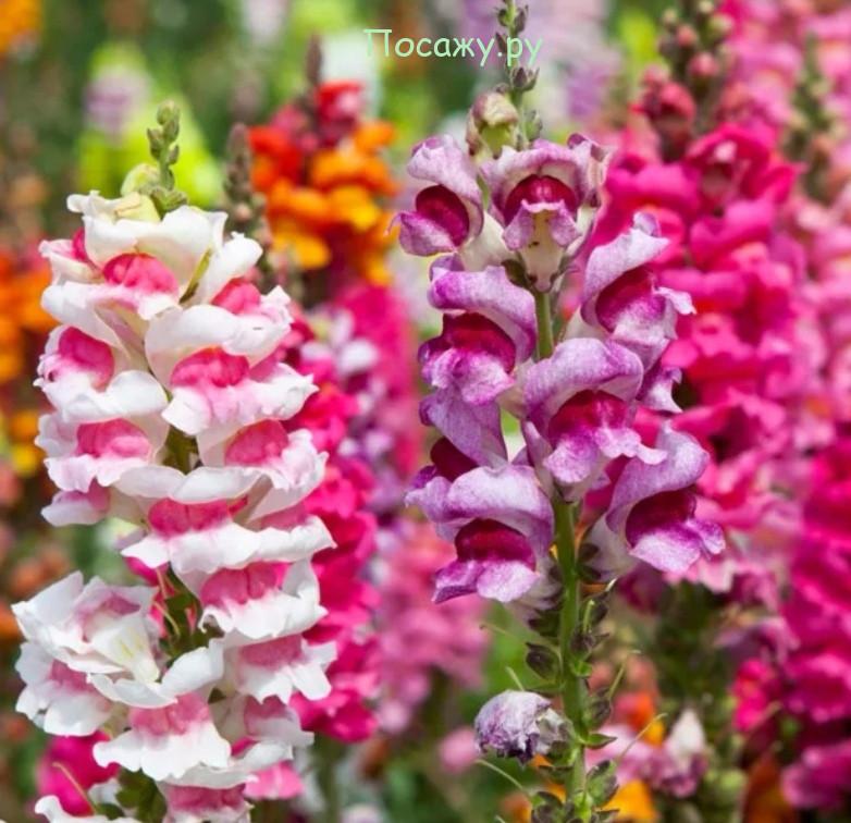 Львиный зев цветы