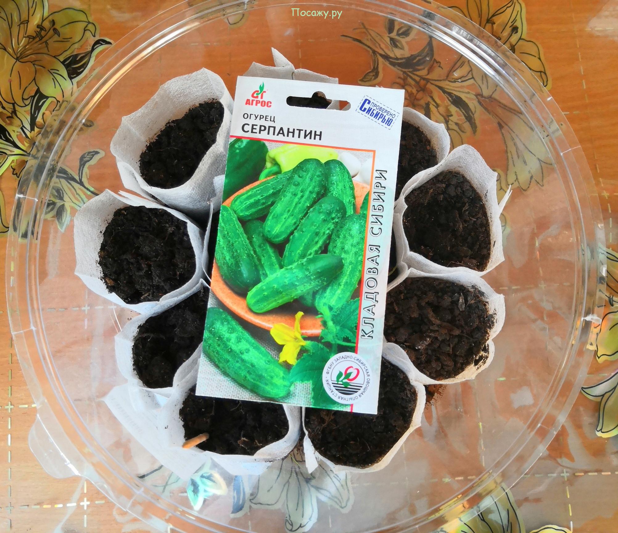 Как сеять огурцы