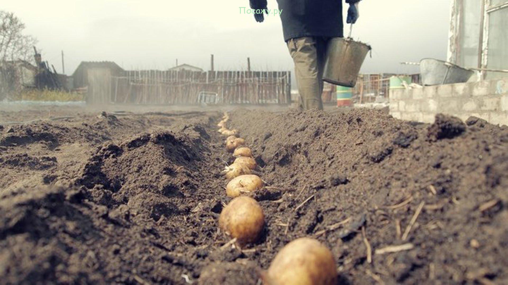 посадка картошки весной