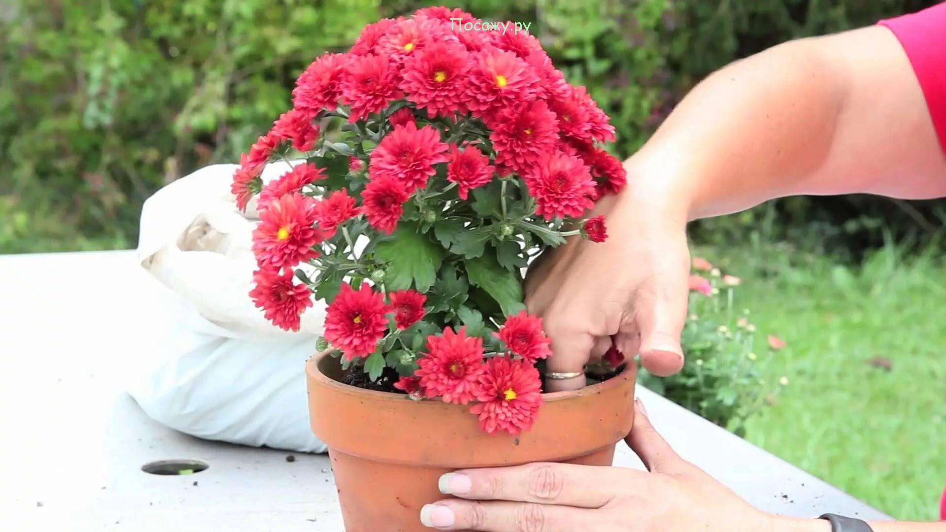 пересадка хризантемы
