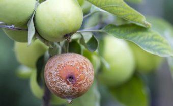 яблоко с плодовой гнилью