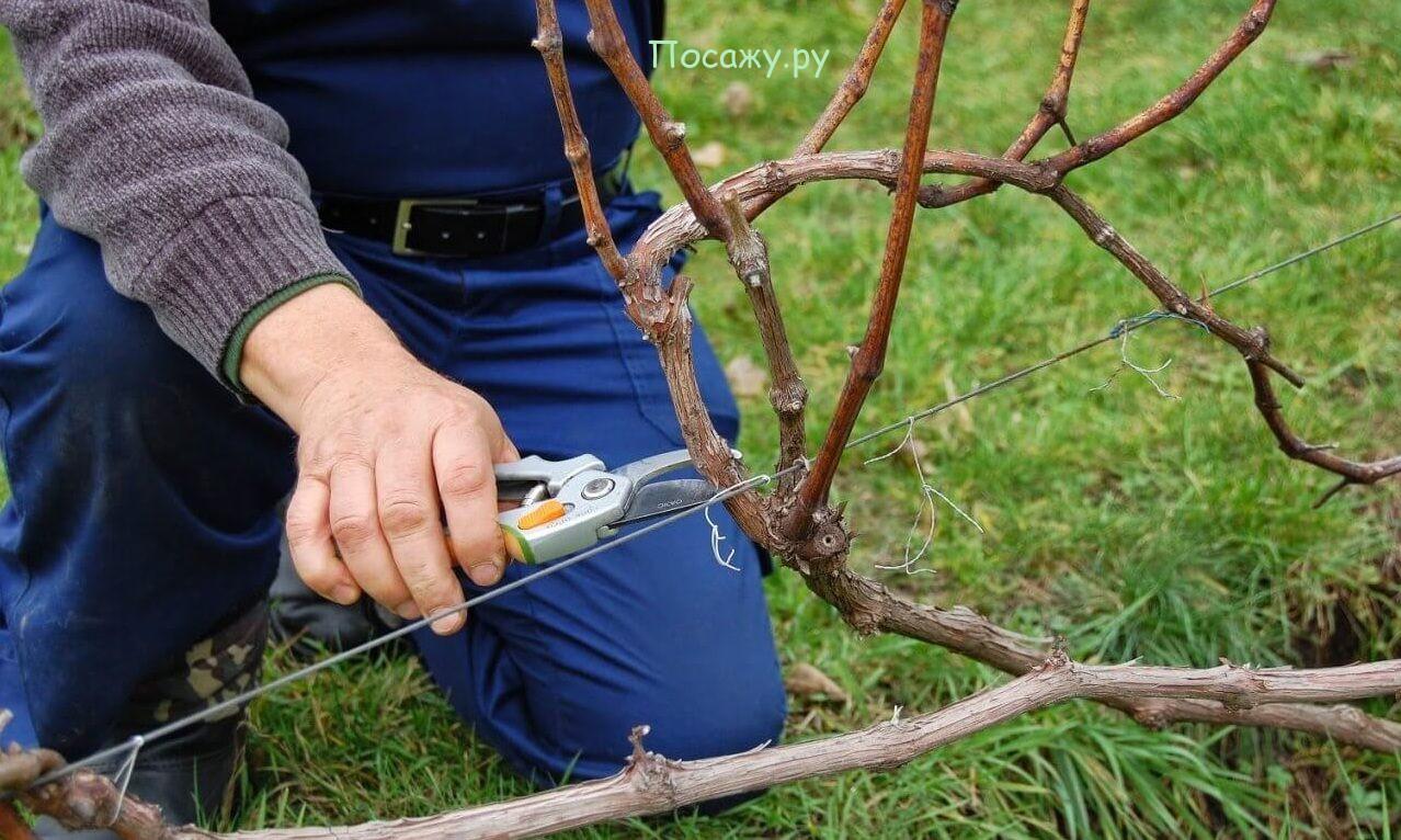 подрезка винограда