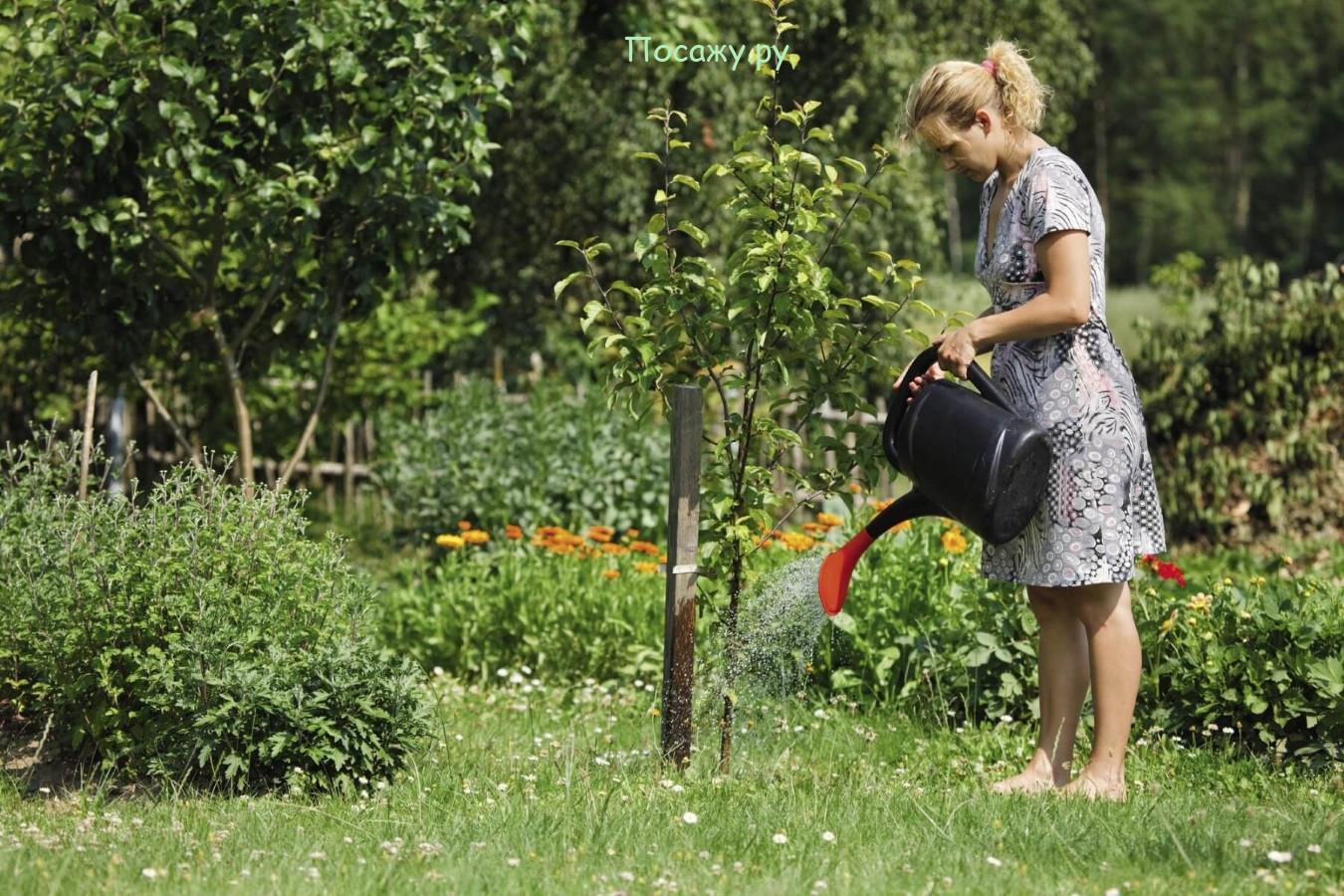 полив яблони