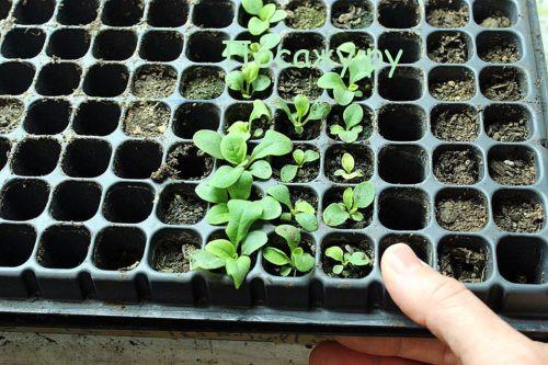 ростки петунии