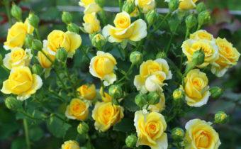вырастить розы