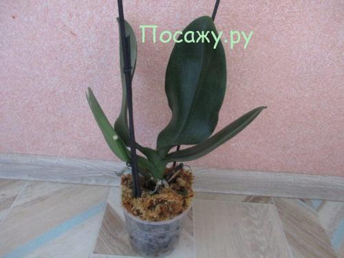 Пересадка орхидеи после падения