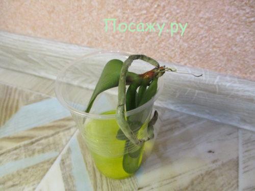 росток орхидеи в воде