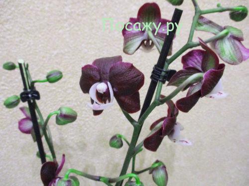 Что делать если листья орхидеи теряют тургор