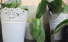 Трипсы на орхидеях. Лечение