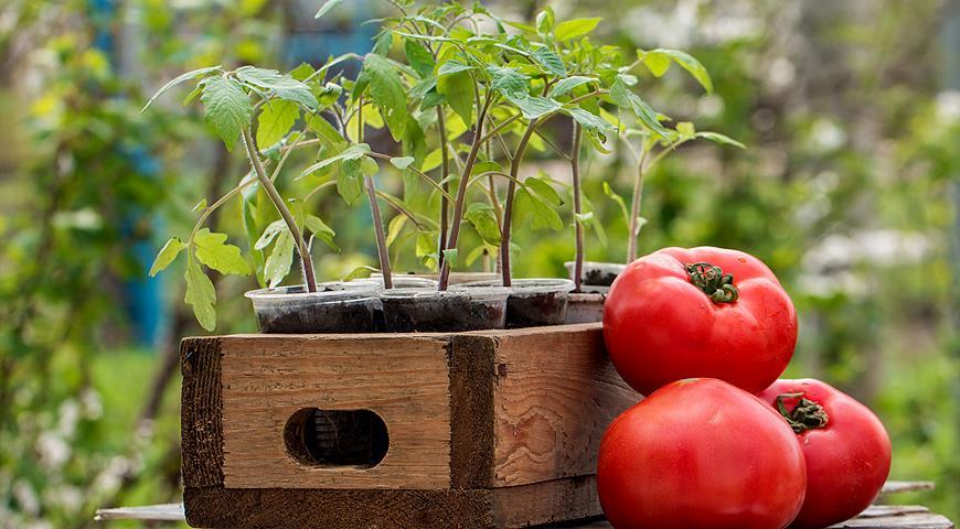 Когда сеять помидоры на рассаду